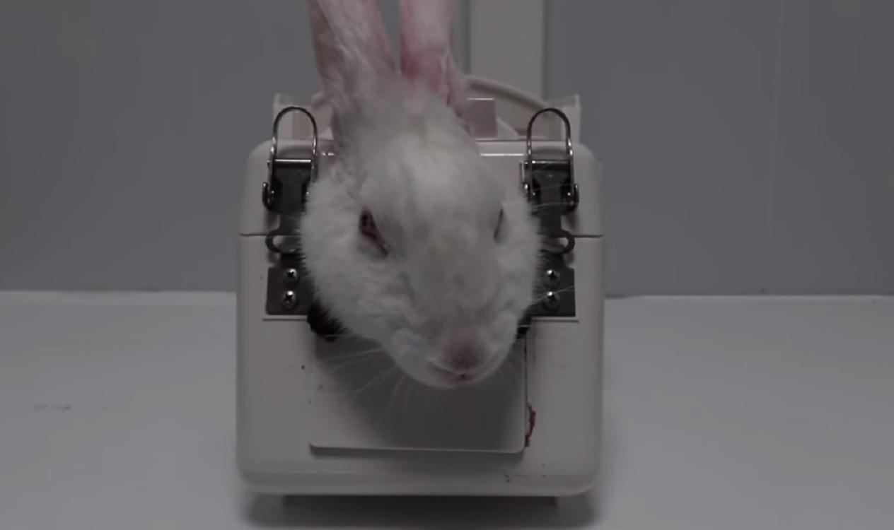 Un conejo sometido a una prueba en el laboratorio Vivotecnia. Cruelty Free International
