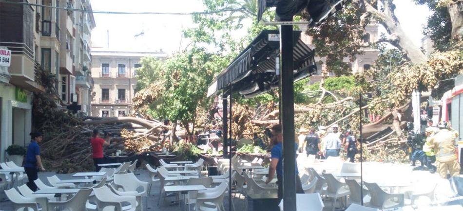 Medio Ficus Cae Sobre La Plaza De Santo Domingo De Murcia