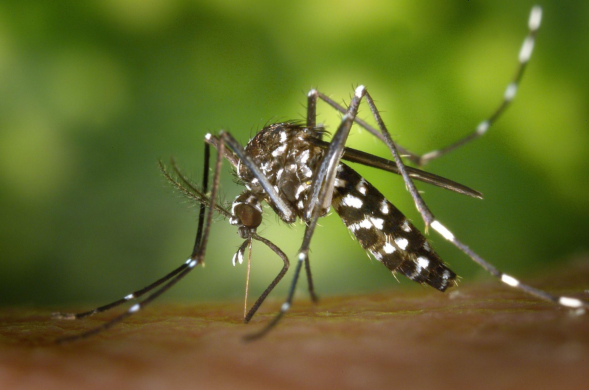 Mosquito Tigre - Pixabay