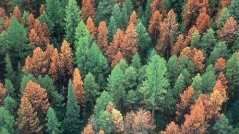 La epidemia de los pinos rojos de Canadá y el cambio climático