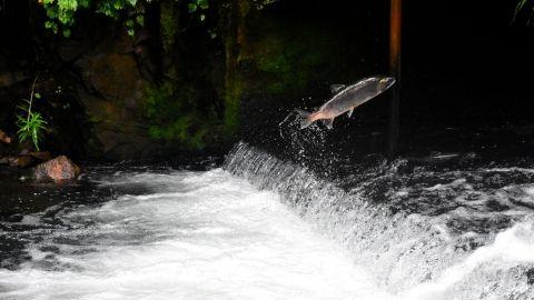 Cosas que no quizás no sabías sobre los salmones