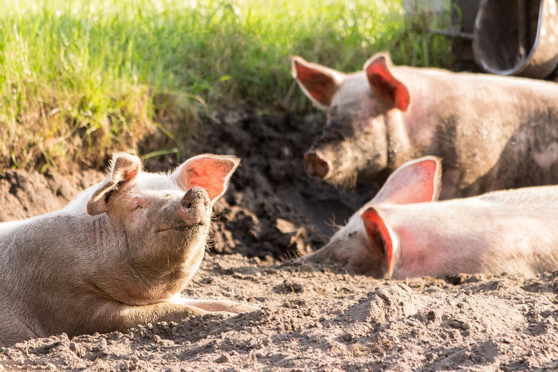Descubren en China una cepa de la gripe en cerdos que podría ...