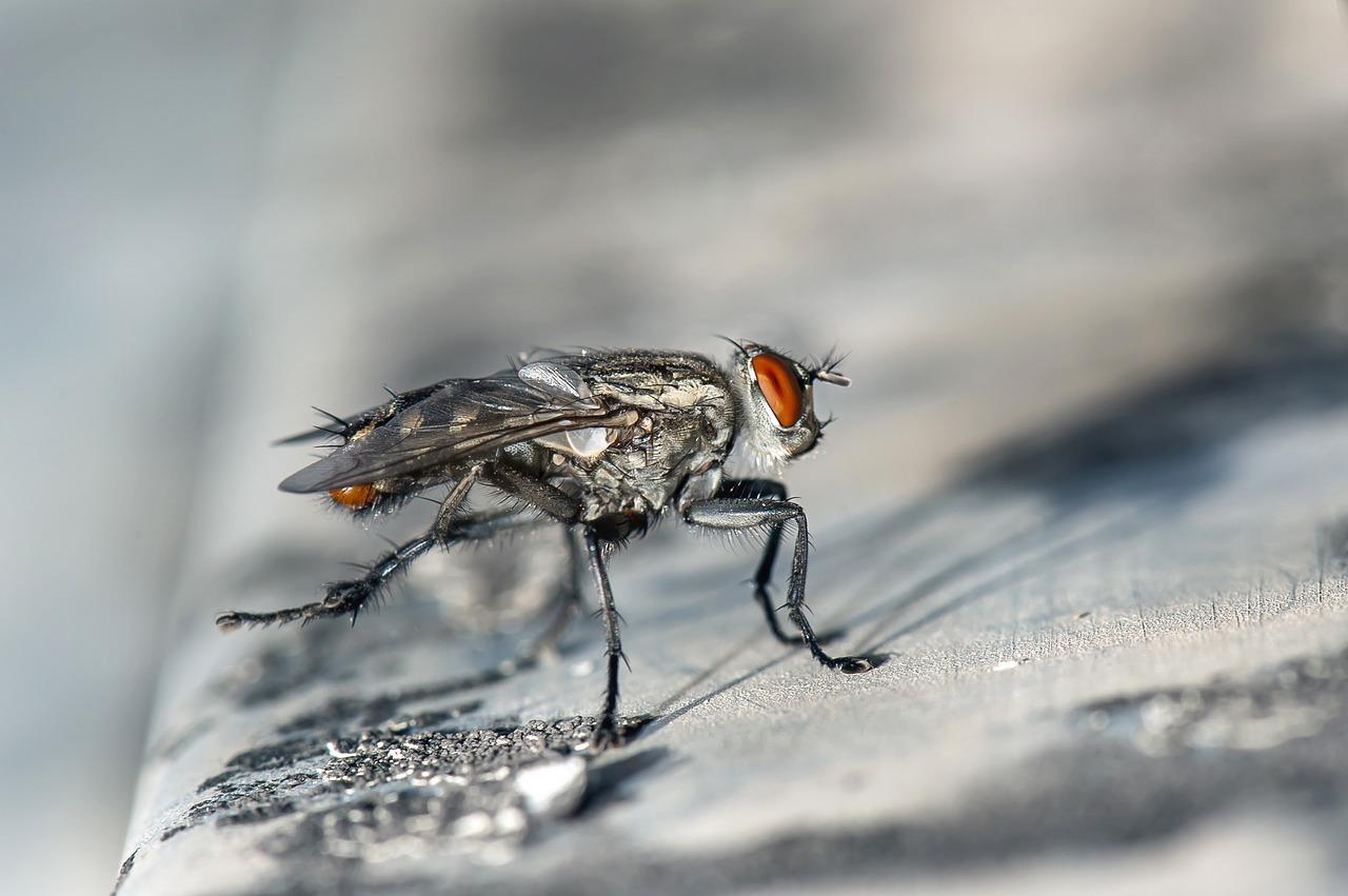 10 hechos interesantes sobre las moscas